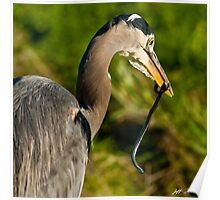 Blue Heron with a Snake in its Bill Poster