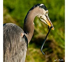 Blue Heron with a Snake in its Bill Photographic Print