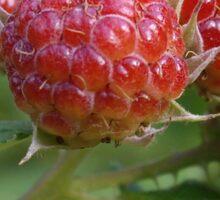 Almost Ripe Raspberries Sticker