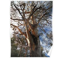 Majestic eucalypt Poster