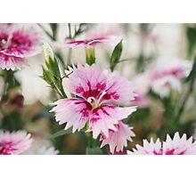 Dianthus Photographic Print