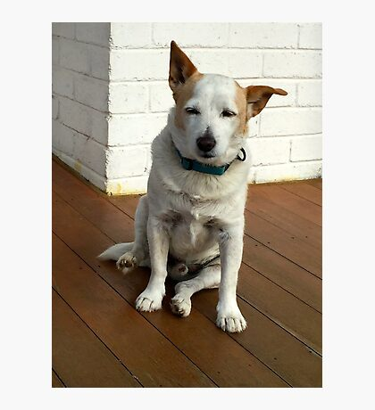 PUP - OLD JACK RUSSEL Photographic Print