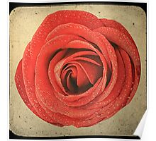 Red rose closeup on vintage background Poster