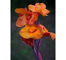 Canna Lily Photographic Print