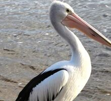 Pelican In Albany ,Western Australia Sticker
