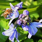 Bee on the Bluebells - Notice the blue pollen in its sacks, by AnnDixon
