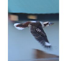 Kookaburra in Flight Photographic Print