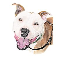 Jango - Staffordshire Bull Terrier Photographic Print
