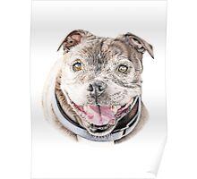 Freddie- Staffordshire Bull Terrier Poster