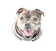 Freddie- Staffordshire Bull Terrier Photographic Print
