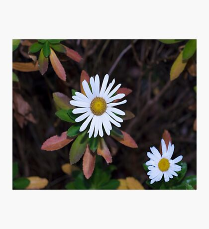 Autumn Daisy Photographic Print