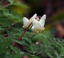 Dutchman's Breeches by Paraplu Photography
