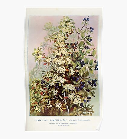 Southern wild flowers and trees together with shrubs vines Alice Lounsberry 1901 074 Pomette Bleue Poster