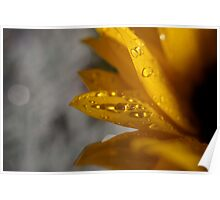 Dew drops on sunflower macro Poster