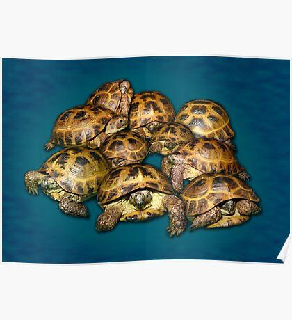Greek Tortoise Group on Gray-Blue Background Poster