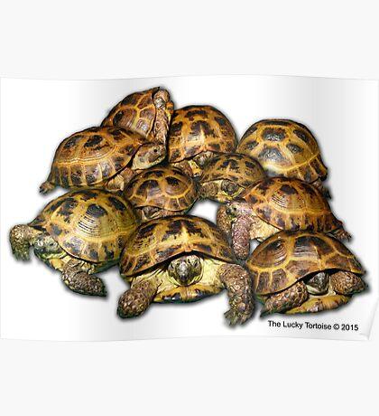 Greek Tortoise Group Poster