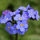 Forget-me-nots by AnnDixon