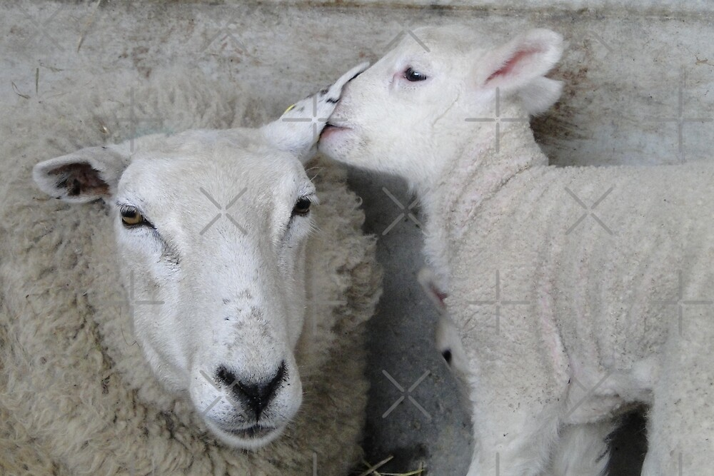 The Lamb Whisperer by Barrie Woodward
