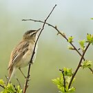 Sedge Warbler by Jamie  Green