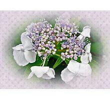 White Lace Cap Hydrangea Blossoms Photographic Print