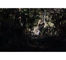 Swamp Wallaby Photographic Print