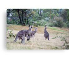 Kangaroo Trio Metal Print