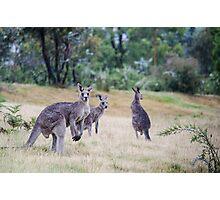 Kangaroo Trio Photographic Print