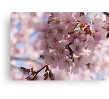 Pink Spring - A Cloud of Delicate Cherry Blossoms Canvas Print