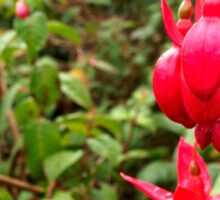 Fuchsia from The Gardens at Lake Merritt Sticker
