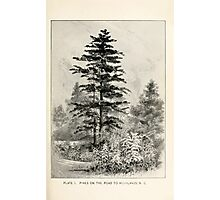 Southern wild flowers and trees together with shrubs vines Alice Lounsberry 1901 002 Pines on the Road to Highlands North Carolina Photographic Print