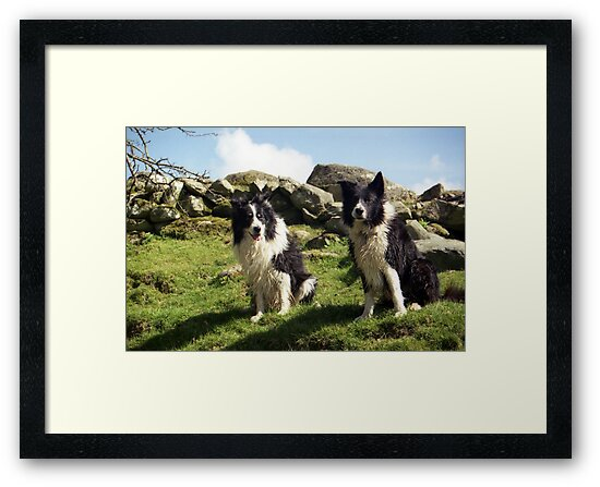 Two Wet Collies by Michael Haslam