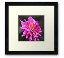 Dahlia Think Pink Framed Print