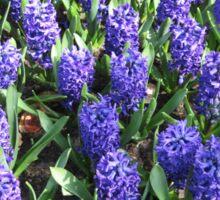Beautiful Blue Hyacinths - Keukenhof Gardens Sticker