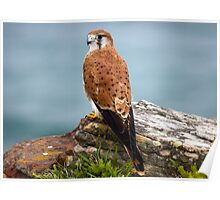 Kestrel at Turrimetta Beach Poster