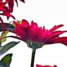 Red Chrysanthemum Flowers by Vicki Field