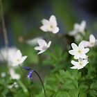 Wood Anemone by RedGrouse