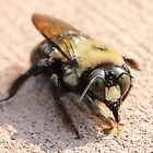 Carpenter Bee  by Sheryl Hopkins
