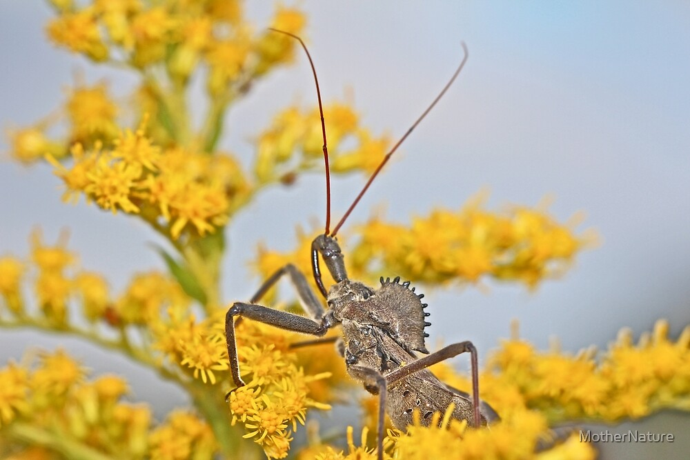 Wheel Bug - Reduviid - Arilus cristatus by MotherNature