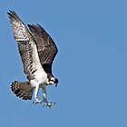 In for the kill - Osprey by Jim Cumming