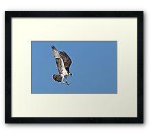 In for the kill - Osprey Framed Print