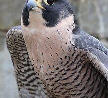 Peregrine falcon by corrado