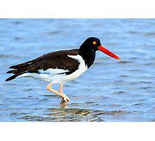 American Oystercatcher Photographic Print