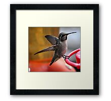 FEMALE ANNA'S ON PERCH Framed Print