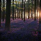 Kingswood Bluebells Sunrise by Ian Hufton