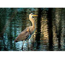 Great Blue Heron at Wakodahatchee Wetlands Photographic Print