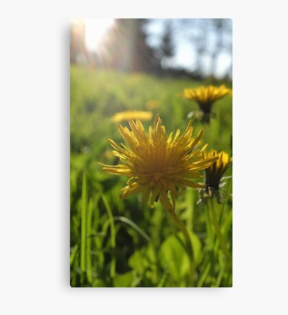 Dandelion Flower  Canvas Print