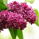 Lovely Lilacs  by lorilee