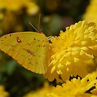 Yellow butterfly on yellow mums by Ben Waggoner