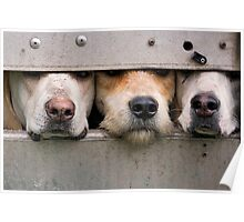 Three foxhounds looking out of trailer Poster