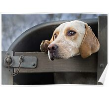 Foxhound looking out of trailer Poster